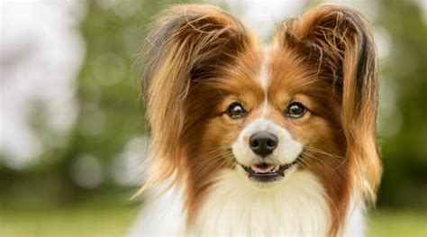 Fluffy Dog Breeds: 34 Small, Large and Giant Pups With