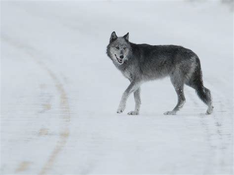 Ten Interesting Facts about Gray Wolves   Blog Posts   WWF