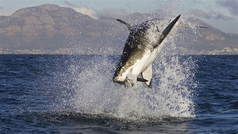 Would a Great White Shark be too much for an Orca