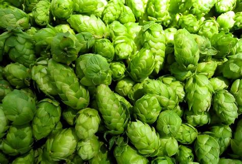 Mashing In: Drink That Hoppy Beer While It's Fresh | The