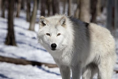 Remarkably Interesting Facts About Wolves You'd Love to Know