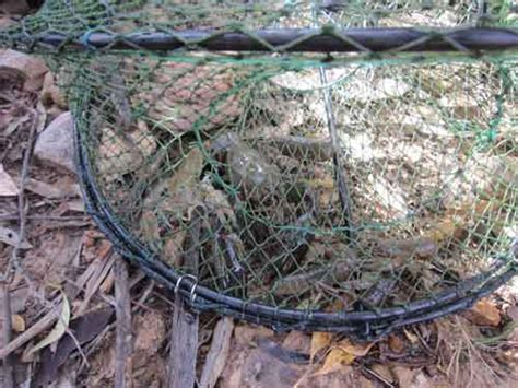How to catch the Humble Freshwater Yabby (Cherax
