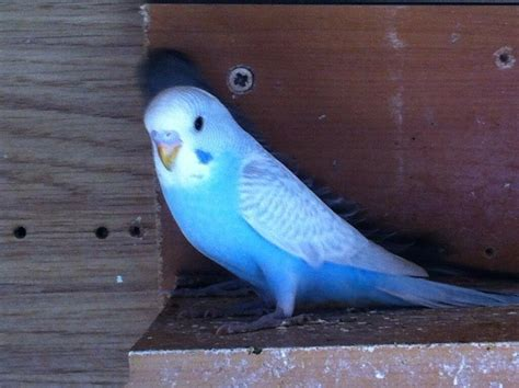 baby budgies for sale £25 6-8 weeks old (rare colours