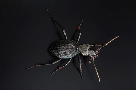 Ground beetle (snail hunter)   Insect Models - Julia Stoess