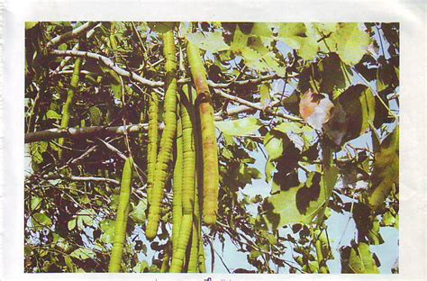 EXCELLENT AYURVEDIC SOLUTIONS: NAMES OF PUDDING PIPE TREE