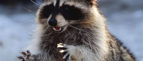 Pet Raccoon Overdoses on Illegal Drugs   Realtree Camo