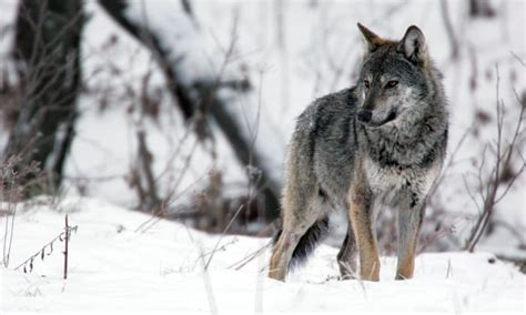 On the trail of the wolf, Europe's much maligned and