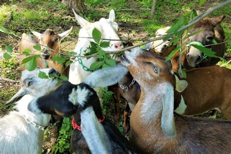 CMU Going Green with Grazing Goats - The Piper - Carnegie