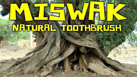 Miswak Sticks: All Natural Toothbrush from Arak Root - YouTube